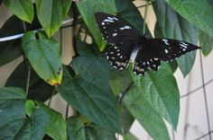 Female Cairns birdwing butterfly on a native Dutchmans pipe vine.