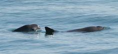 Boto Vaquito - Com apenas 97 indivíduos, a espécie está em segundo lugar no ranking. Considerado o menor boto da Terra, o animal vive no Mar de Cortez, no México, onde é frequentemente enredado por caçadores de totoaba, uma espécie de peixe.   15 espécies que podem entrar em extinção a partir de 2015 - Pensamento Verde