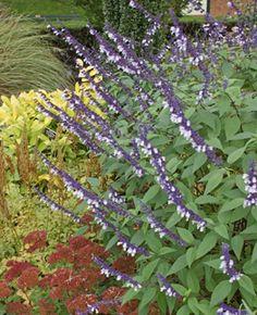 Salvia 'Phyllis Fancy' Annies Annuals $8.95 Salvia 'Phyllis Fancy perennial shrub zone 7a-7b