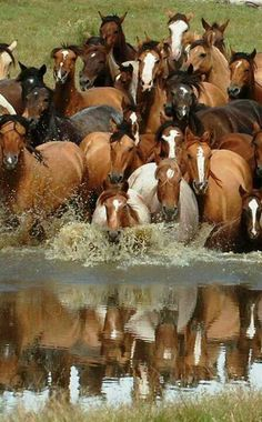 A herd of horses crossing a river