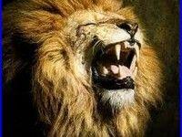 Lion Roar Wallpaper 365 1080P HD