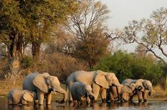 Elephants gather for water in the KAZA conservation area. Herd Of Elephants, Save The Elephants, Elephants Never Forget, Elephant Love, All Gods Creatures, Gentle Giant, Endangered Species, Photos, Giraffes