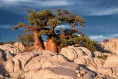 Kubu Island: A Desert Island of Baobabs and Ancient Fossils Delta De L'okavango, Chutes Victoria, Safari, Sites Touristiques, Okavango Delta, Tree Roots, Desert Island, Parc National, Nature Tree