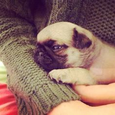 Sleepy pug puppy wants to steal your heart!