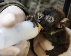 A veterinarian of the Mulhouse zoo bottle-feeds Dimbi, a blue-eyed black lemur cub (Eulemur flavifrons) on April 19, 2013, in Mulhouse. Theres currently less than 2000 blue-eyed black lemurs in nature.