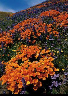 Wild flower , central California - Mangelsen's April's Gift