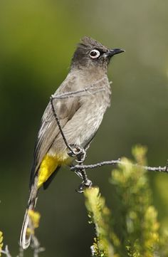 Cape Bulbul strikes a pose. They are an endemic resident breeder in coastal bush, open forest, gardens and fynbos in southern South Africa. I Like Birds, Pretty Birds, Beautiful Birds, South African Birds, Three Birds, Wild Birds, Birds 2, Funny Birds, Tropical Birds