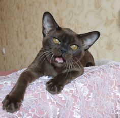 KZ*Burmorion's Umi of Silky Sense Cattery • Brown Burmese • Burmese Cats Greece ❤️