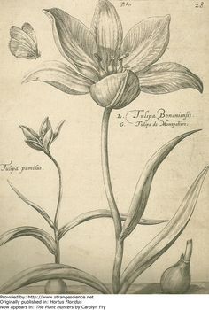 Tulipa Bononiensis, Crispin de Pass the Younger