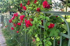 Staket och rosor - kan det bli bättre? Ett gammalt smidesstaket i vacker grön färg som smälter in i de prunkande rosenbuskarna.