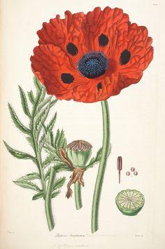 Papaver flower botanical poster. Flower print. by ariadnathread