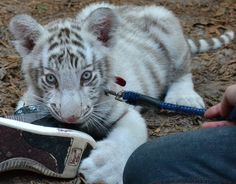 Even tigers will eat your shoes