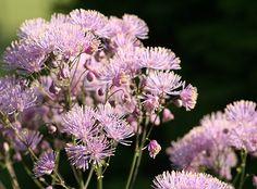 Buy meadow rue Thalictrum aquilegiifolium: Delivery by Crocus