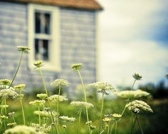 Wistfully Country, crumpledenvelope: Love Queen Anne's Lace!