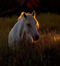 Wild Horses of Camargue All The Pretty Horses, Beautiful Horses, Animals Beautiful, Cute Animals, Beautiful Sunset, Horse Girl, Horse Love, Horse Pictures, Animal Pictures