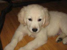 My English Cream Golden Retriever puppy Peroni! He makes my heart melt :)