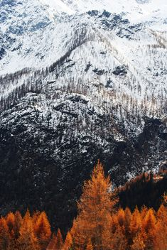 The orangish-brown trees look great against the white cascading mountains