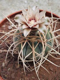 gymnocalycium cardenasianum Cacti And Succulents, Planting Succulents, Cactus Plants, Cactus Names, Ornamental Plants, Cactus Y Suculentas, Cactus Flower, Balcony Garden, Air Plants