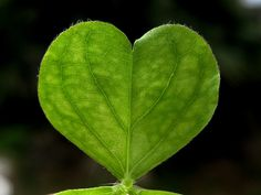 """""""Shamrock heart,"""" by After darkness, light., via Flickr -- """"A wood sorrel leaf is composed of three hearts."""""""