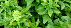 Como cultivar o manjericão – Do plantio a poda -   Omanjericãoé uma erva altamente nutritiva. Ele fornece cerca de 20 calorias por 100 gramas de seu consumo. Contém óleos essenciais, fornece aroma calmante e benefícios à saúde. Ele é uma fonte de fibra dietética, de proteína e contém principalmente água. Várias vitaminas como a vitamina A, ... - http://series.tv.br/ecoblog/2015/07/21/1596/