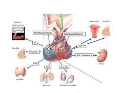 hypofyse voorkwab hormonen - Google Search