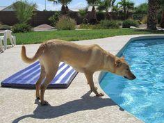 Ginger The Carolina Dog Stalking a Pool Toy https://www.facebook.com/carolinadogmodel/?fref=ts