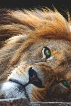 Fotoğraf I Love Him. In heaven the Lion will Lay next to a Lamb.Looking forward … Big Cats, Cool Cats, Cats And Kittens, Lion Love, Cat Love, Beautiful Cats, Animals Beautiful, Gorgeous Eyes, Grand Chat
