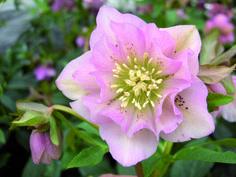 Hellebore Double Ellen Pink for the winter garden