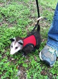 Opossum out for a walk.