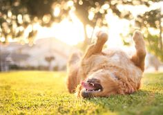 A dog rolling on the lawn
