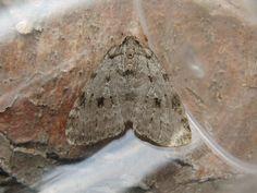 Wk 35..... Pale november moth