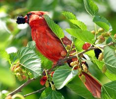 Cardinal feasting on a mulberry