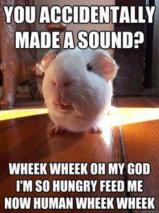 guinea pig wheek