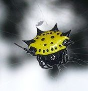 Gasteracantha_cancriformis - the Crab Spider. Have one of these neat little guys in a beautiful huge web in my new yard. If I ever get time in the good light, I will be getting some of my own shots. Weird Insects, Crab Spider, Bat Signal, Superhero Logos, Bugs, Cute Animals, Orange Grove, Creatures, Spiders