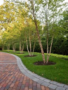 (Windsor Companies traditional landscape) Birch trees lining the driveway; - (Windsor Companies traditional landscape) Birch trees lining the driveway; pretty, not dense, and e - Brick Driveway, Tree Lined Driveway, Driveway Design, Brick Pavers, Driveway Ideas, Circle Driveway Landscaping, Permeable Driveway, Brick Pathway, Circular Driveway
