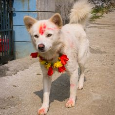 Nepal's Kukur Tihar Festival Is Diwali for Dogs - Dogster