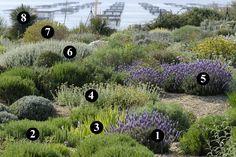 1 : Lavandula dentata 'Ploughman's Blue' 2 : Sedum sediforme 3 : Sisyrinchium striatum 4 : Achillea coarctata 5 : Lavandula dentata 'Adrar M'Korn' 6 : Ballota acetabulosa 7 : Leucophyllum langmanae 8 : Yucca rostrata