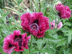 Noted for its long bloom season, Oriental Poppy 'Harlem' (Papaver Orientale) features large, double, ruffled, crepe papery, burgundy-rose flowers with dark purple eyes and black splotches at their base.