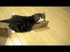 Maru  >^..^< ~~ Many Boxes and Maru 2