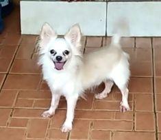 Dijual Anjing Chihuahua, Jual Chihuahua Long Hair, Lokasi: Surakarta, Minat Hub.: 085801034458,  No. Iklan: 1818, Informasi lebih detil silakan kunjungi iklan pada link di bawah ini. www.pettoto.com/jual-chihuahua-long-hair-surakarta