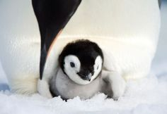 Emperor Penguin Dad with Chick
