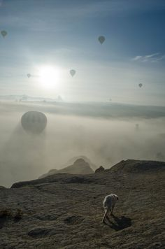Hot air balloons and puppy in Cappadocia #Turkey #travel