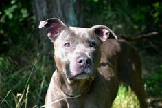 MAYBELLINE - A1043269 - TO BE DESTROYED 07/26/15 ***FOURTH TIME ON LIST!*** A volunteer ... http://nycdogs.urgentpodr.org/maybelline-a1043269/…