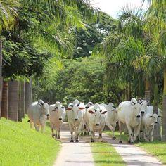 Fim de tarde na Valonia Fazenda é assim. Fotografia, gente e Nelore de alto nível.