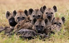 The spotted hyena is a highly successful animal, being the most common large carnivore in Africa. Its success is due in part to its adaptability and opportunism. It is primarily a hunter but may also scavenge, with the capacity to eat and digest skin, bone and other animal waste. In functional terms, the spotted hyena makes the most efficient use of animal matter of all African carnivores.