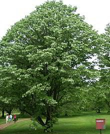 https://upload.wikimedia.org/wikipedia/commons/thumb/8/8d/Tilia_tomentosa.jpg/220px-Tilia_tomentosa.jpg