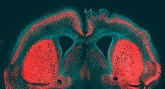 Lapislazzuli Blu: #Scoperto il #gene che #rende #unico il #cervello ...