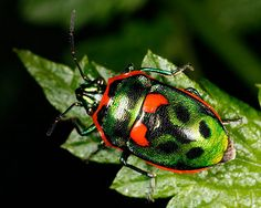 Harlequin Bettle. Arthropods - Beetles - Stephen Axford Photography