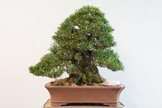 How to fertilize black pine #bonsai