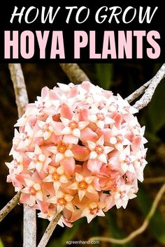 Hoya are epihytic, growing on trees and in crevices in tropical regions. A common mistake when growing Hoya plants is to keep the soil consistently moist as with many tropical plants. With a bit of knowledge, they are easy to grow. Hoya Plants, Big Plants, Garden Plants, Growing Plants, Shade Garden, Inside Plants, Flowering Plants, Vegetable Garden, Amazing Gardens